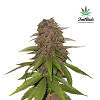 C4-Matic Auto – Feminized – Fast Buds