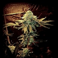 Sin City Seeds Sour Jefe Regular