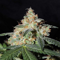 Karma Genetics Seeds White Sage Regular