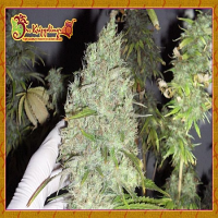 Dr Krippling Seeds Incredible Bulk Feminised (PICK N MIX)