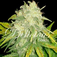 Delicious Seeds Il Diavolo Auto Feminized