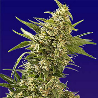 Spliff Seeds AK Auto Feminised (Gold)