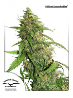 Dutch Passion Seeds CBD Auto Compassion Lime® Feminized