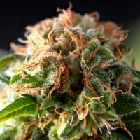 Pyramid Seeds Fresh Candy Feminized
