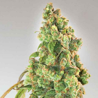 Expert Seeds Nurse Lilly CBD Feminized