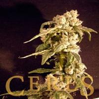 Ceres Seeds Easy Rider Auto Feminised