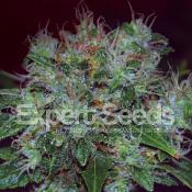Blue Cheese Auto – Feminized – Expert Seeds