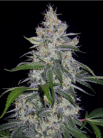 Mephisto Genetics Seeds Fantasmo Express Auto Feminized (PICK N MIX)