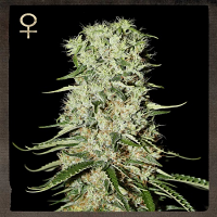 Strain Hunters Seeds Damnesia Feminised