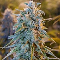 Bulk Seeds Blue Dream Feminized
