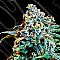 Critical Mass Collective Seeds Monster Mass Feminized (PICK N MIX)