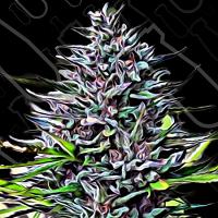 Critical Mass Collective Seeds Purple Skunk Mass Feminized