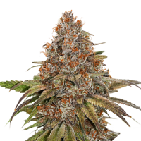 Seed Stockers Seeds Blackberry Gum Feminized