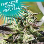 The Bling - Feminized - Humboldt Seed Company
