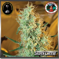Big Buddha Seeds Silver Cheese Feminized