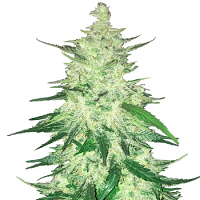 FastBuds Seeds CBD Crack Feminized