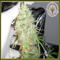 Dr Krippling Seeds Night Night Feminized