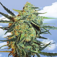 Flying Dutchmen Seeds Blueberry Skunk Feminized