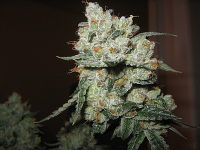 Sensible Seeds Premium Selection OG Kush Feminized (PICK N MIX)