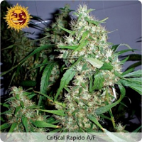 Barney's Farm Seeds Critical Rapido Auto Feminized