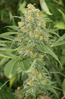 Humboldt Seed Organisation Green Crack Feminized