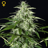Green House Seeds Kalashnikova Auto Feminised