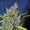 Sagarmatha Seeds Blueberry Bud Regular