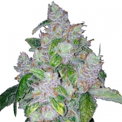 Night Nurse - Feminized - Sensible Seeds Premium Selection