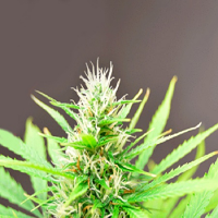 Cream of The Crop Seeds Robocrop Auto Feminized