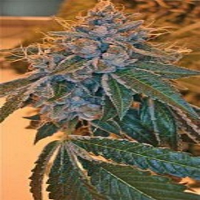 Reserva Privada Seeds Kosher Kush Regular