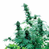 Early Skunk – Regular – Sensi Seeds