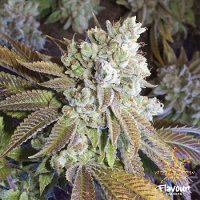 Flavour Chasers Seeds Wedding Cake Feminized