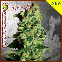 Dr Krippling Seeds Super Skunk Auto Feminized (PICK N MIX)