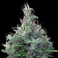 ACE Seeds Lebanese Regular