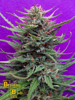 Breaking Buds Seeds Cream Crystal Meth Feminized