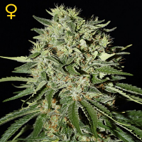 Green House Seeds The Doctor Feminized