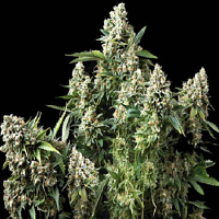 Pyramid Seeds Tutankhamon Feminized