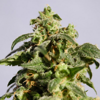 Kannabia Seeds Skunk+ Feminized