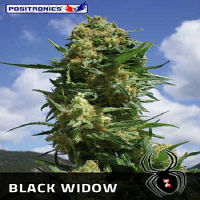 Positronics Seeds Black Widow Feminized