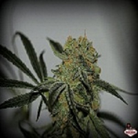 Sin City Seeds Buddha's Dream Regular