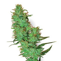 White Label Seed Company White Label Jack Herer Regular