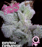Brain Damage - Feminized - Growers Choice