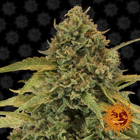 Barney's Farm Seeds Bad Azz Kush Feminized