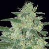 Samsara Seeds Holy Grail 69 Feminized