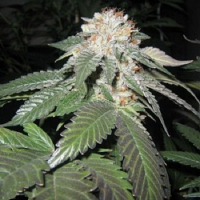 Cali Connection Seeds Julius Caesar Feminised