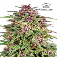 Dutch Passion Seeds Frisian Dew Feminized