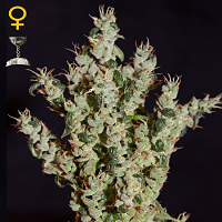 Green House Seeds NL #5 Haze Mist Feminized