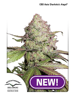 Dutch Passion Seeds Auto CBD Charlotte's Angel Feminized