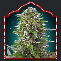 OO Seeds Auto Fem Collection #2 Feminized