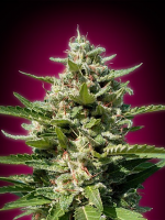 Advanced Seeds White Kush Feminized